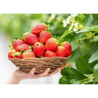 선가 딸기 수제청